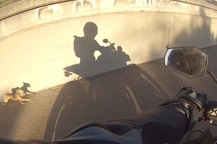 KTM 1290 Super Duke R vs pooch