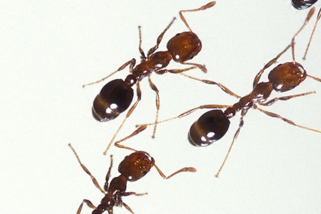 Amazon villagers torture motorbike thieves with venomous ants