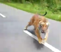 tiger chases motorcycle in India